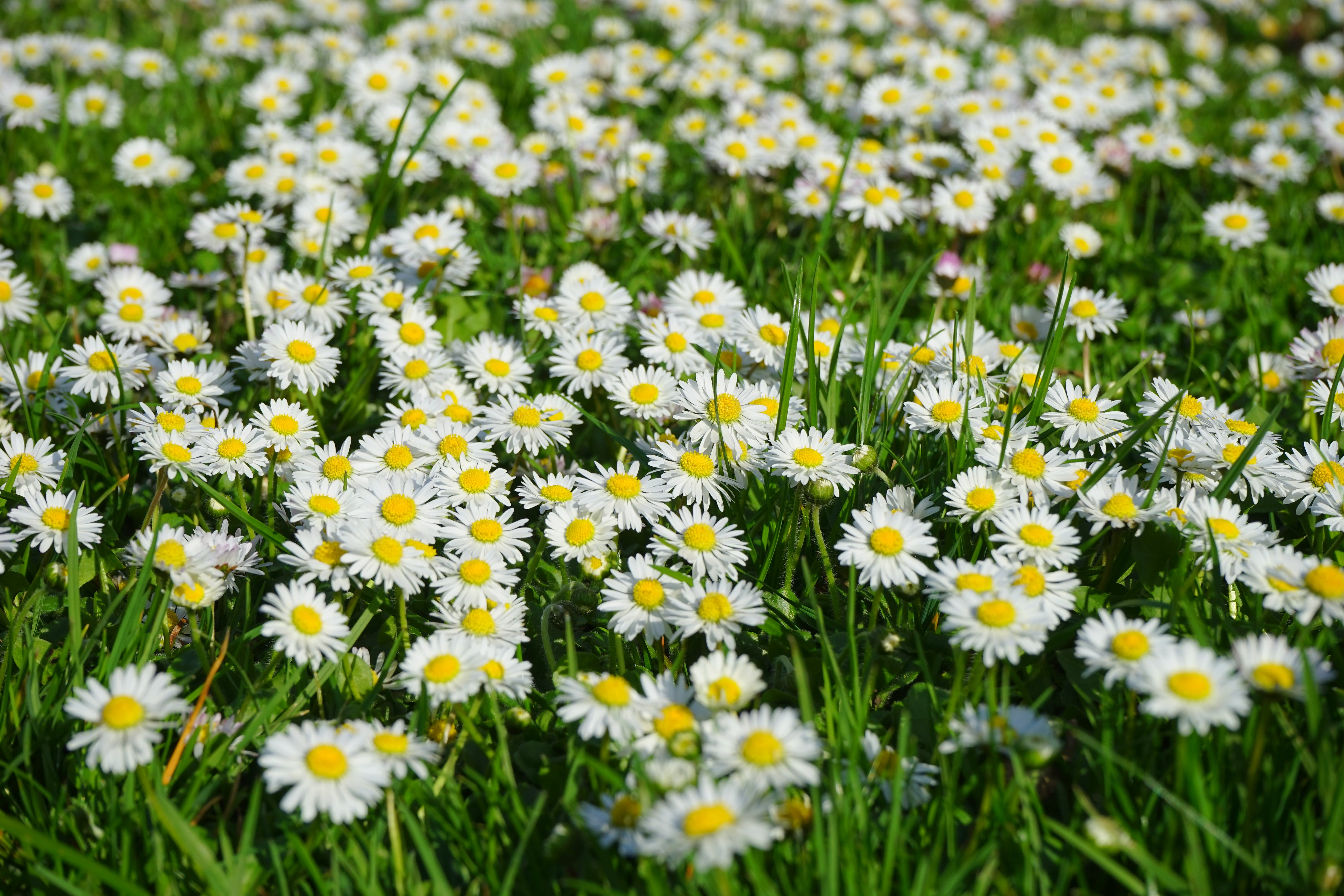 Field of White and Yellow Daisies
