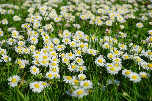 Gratis lagerfoto af bellis, blomster, græs, lille daisy