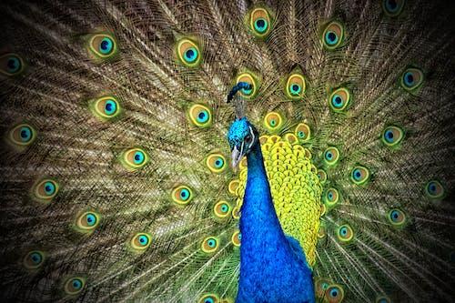 カラフル, 動物, 孔雀, 野生動物の無料の写真素材
