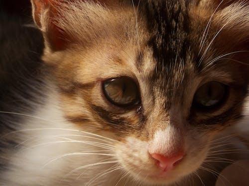 Základová fotografie zdarma na téma hravý, kočičí obličej, kočka, koťátka