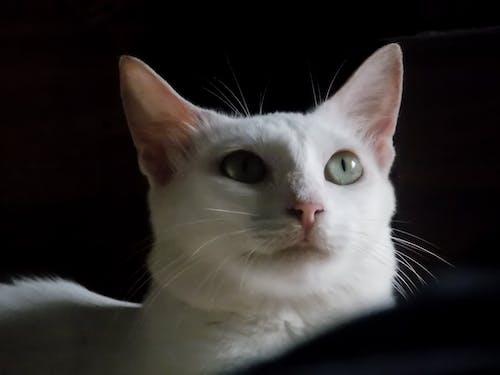 Základová fotografie zdarma na téma bílá kočka, kočičí obličej, kočičí oko, kočka