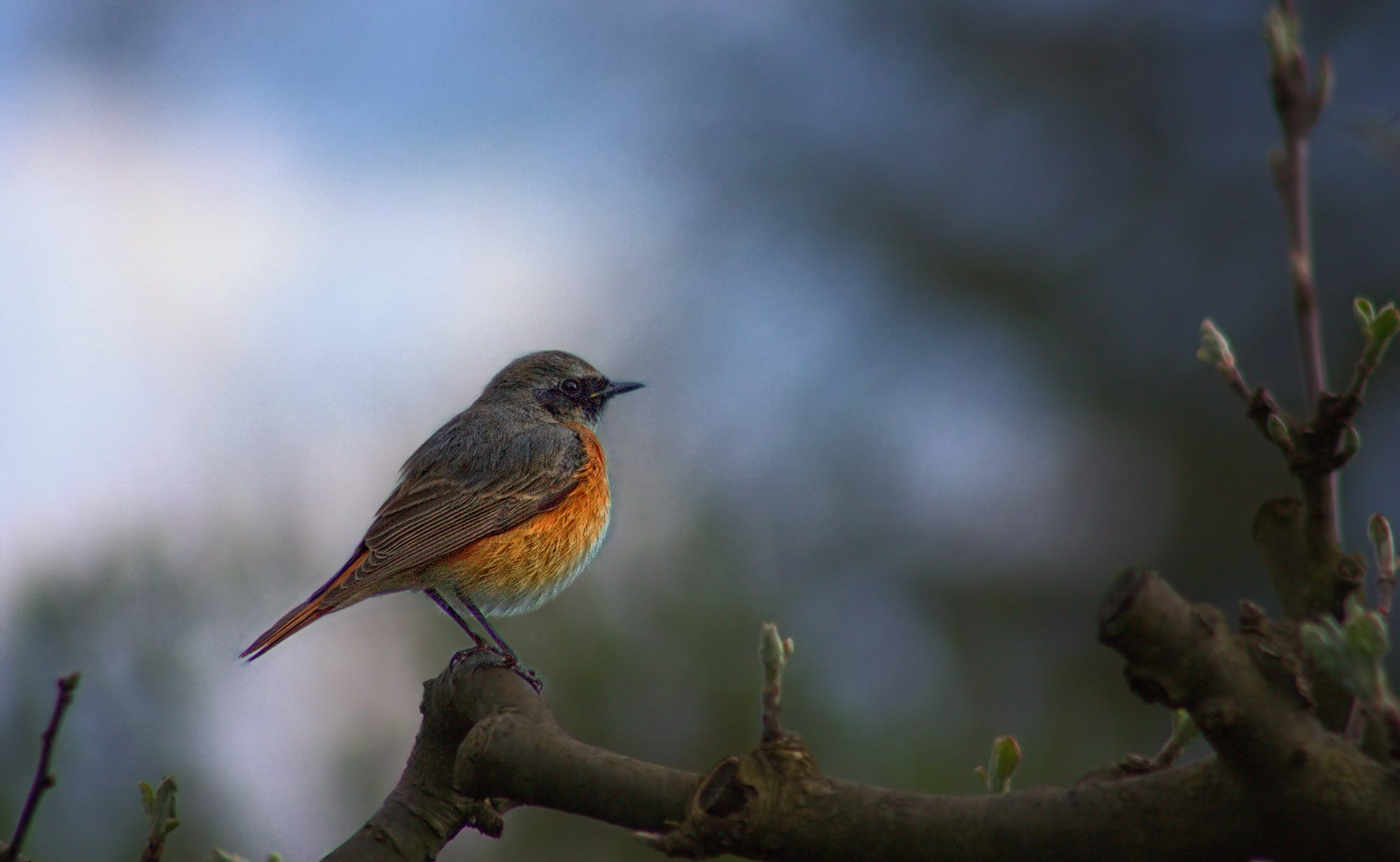 Free stock photo of nature, bird, common redstart, phoenicurus phoenicurus