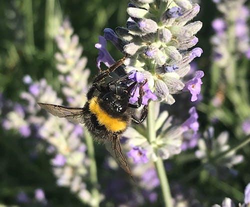 Photos gratuites de fleurs violettes, insectes