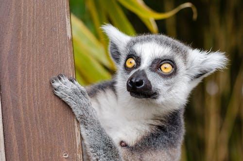 Fotos de stock gratuitas de a rayas, animal, fauna, lémur