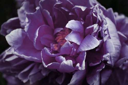 Free stock photo of atmospheric, beautiful flower, closeup, dark flower