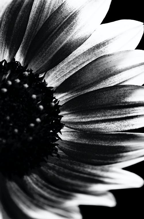 Free stock photo of black and white, classic, contemporary, dark flower