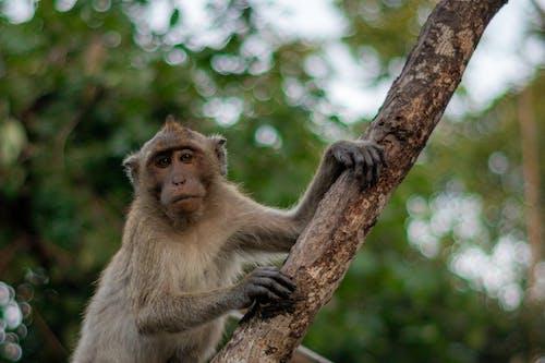 Imagine de stoc gratuită din bokeh, maimuță, natură, portret animal