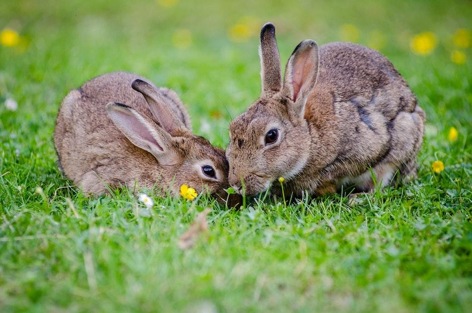 2 Rabbits Eating Grass at Daytime