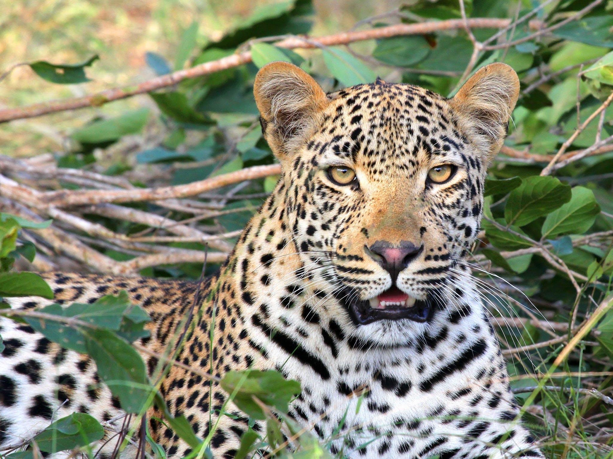 Leopard Sitting on Green Grass