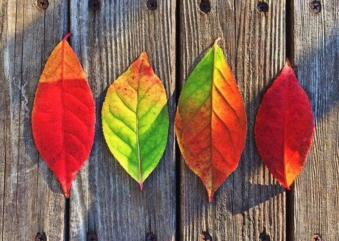 Free stock photo of red, creative, leaves, autumn