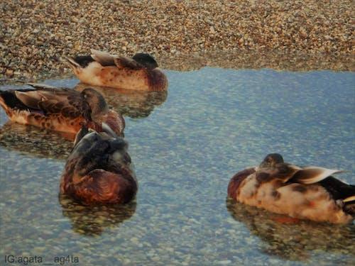 Fotobanka sbezplatnými fotkami na tému divé zviera, divé zvieratá, divoké kačice