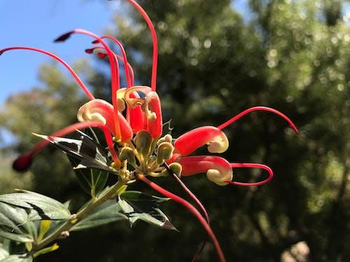 Kostnadsfri bild av naturens skönhet, röd, röd blomma, vacker blomma