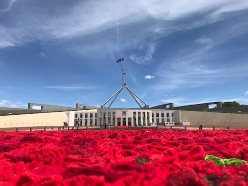 Kostnadsfri bild av Australien, parlament, röd, röda rosor