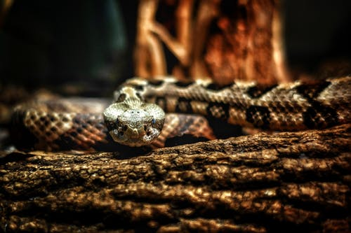 Free stock photo of rattlesnake, reptile, snake