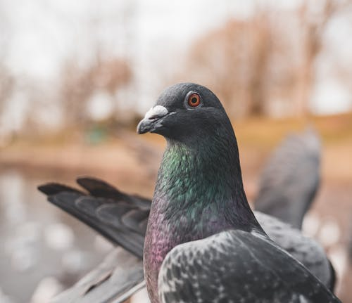 Close-Up Photo Of Perched Pigeon