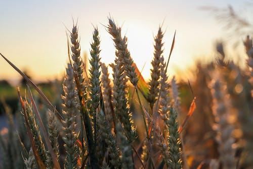 小麥, 小麦面包, 弹簧, 日落 的 免费素材照片