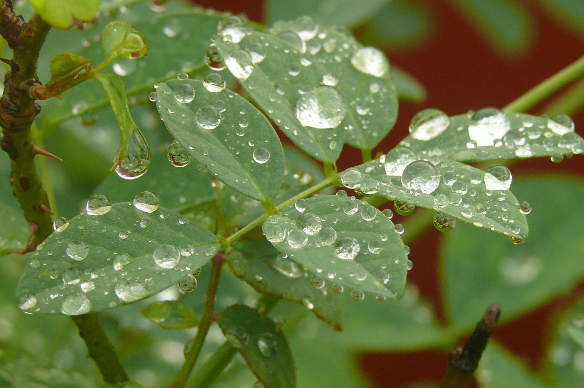Free stock photo of Water Droplets On plant
