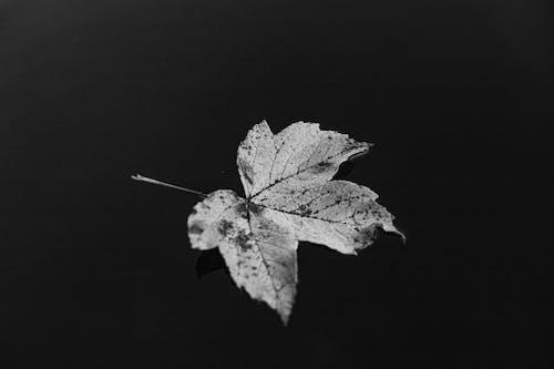 Free stock photo of autumn, autumn leaves, black and white, detail
