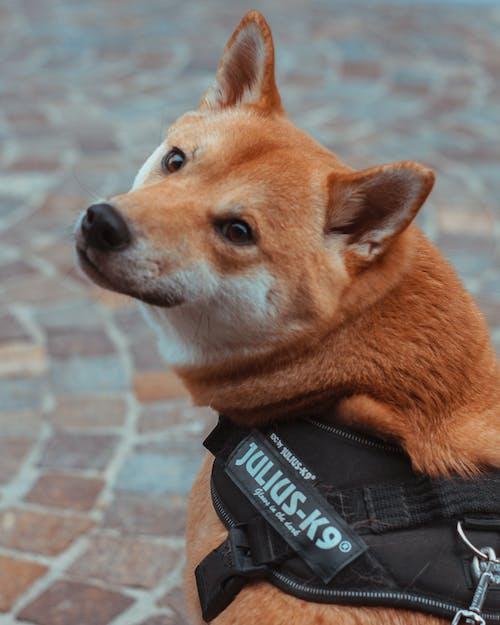 Foto d'estoc gratuïta de #gos, dogo, gossos, shiba inu