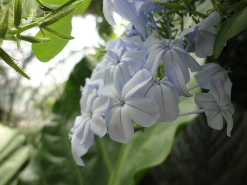 Free stock photo of white flowers