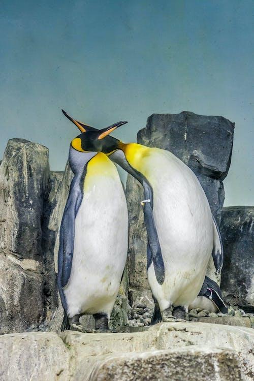 Foto d'estoc gratuïta de animal, bufó, pingüí, pingüins
