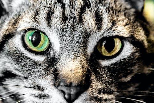 Foto d'estoc gratuïta de animal, gat, ulls