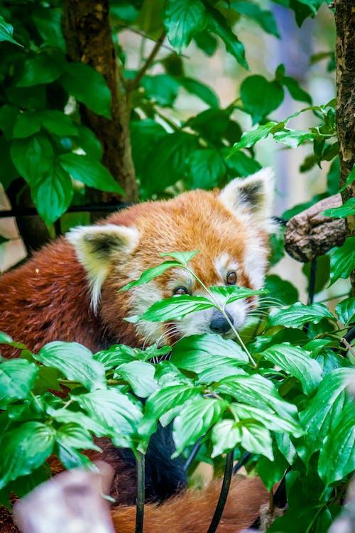 animal, panda vermell