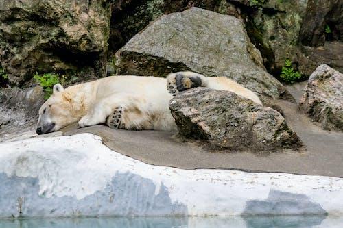 Základová fotografie zdarma na téma lední medvěd, medvěd, spát, zdřímnutí