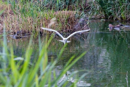 Foto d'estoc gratuïta de aigua, ales, animal, estany