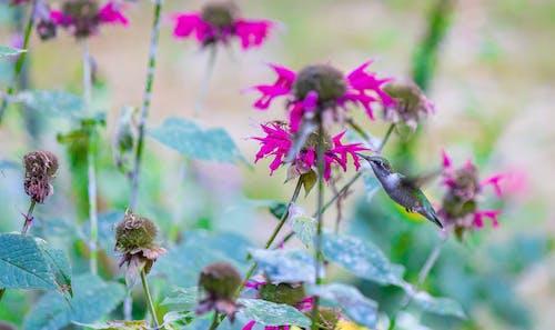 Foto d'estoc gratuïta de animal, colibrí, flor, menjant
