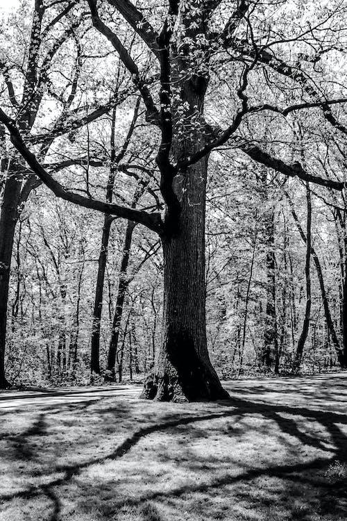 Foto stok gratis alam, bayangan, cabang, hitam & putih