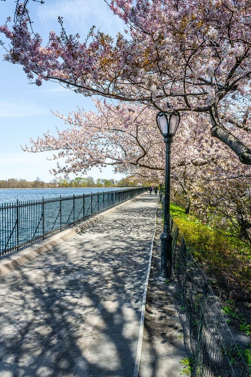 Free stock photo of central park, cherry blossom, lamppost, nature