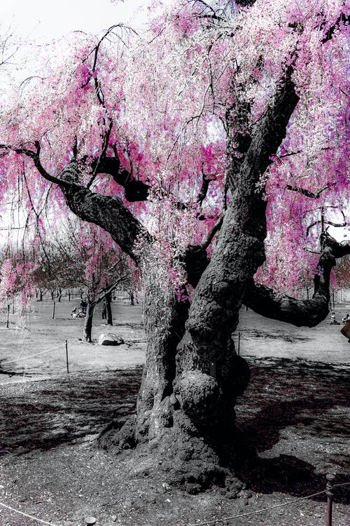 Free stock photo of b&w, cherry blossom, color, contrast