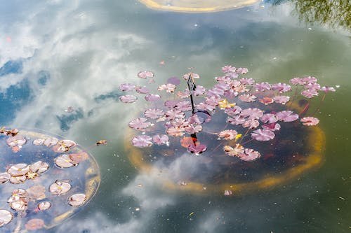 Free stock photo of cloud, lilypad, nature, plant
