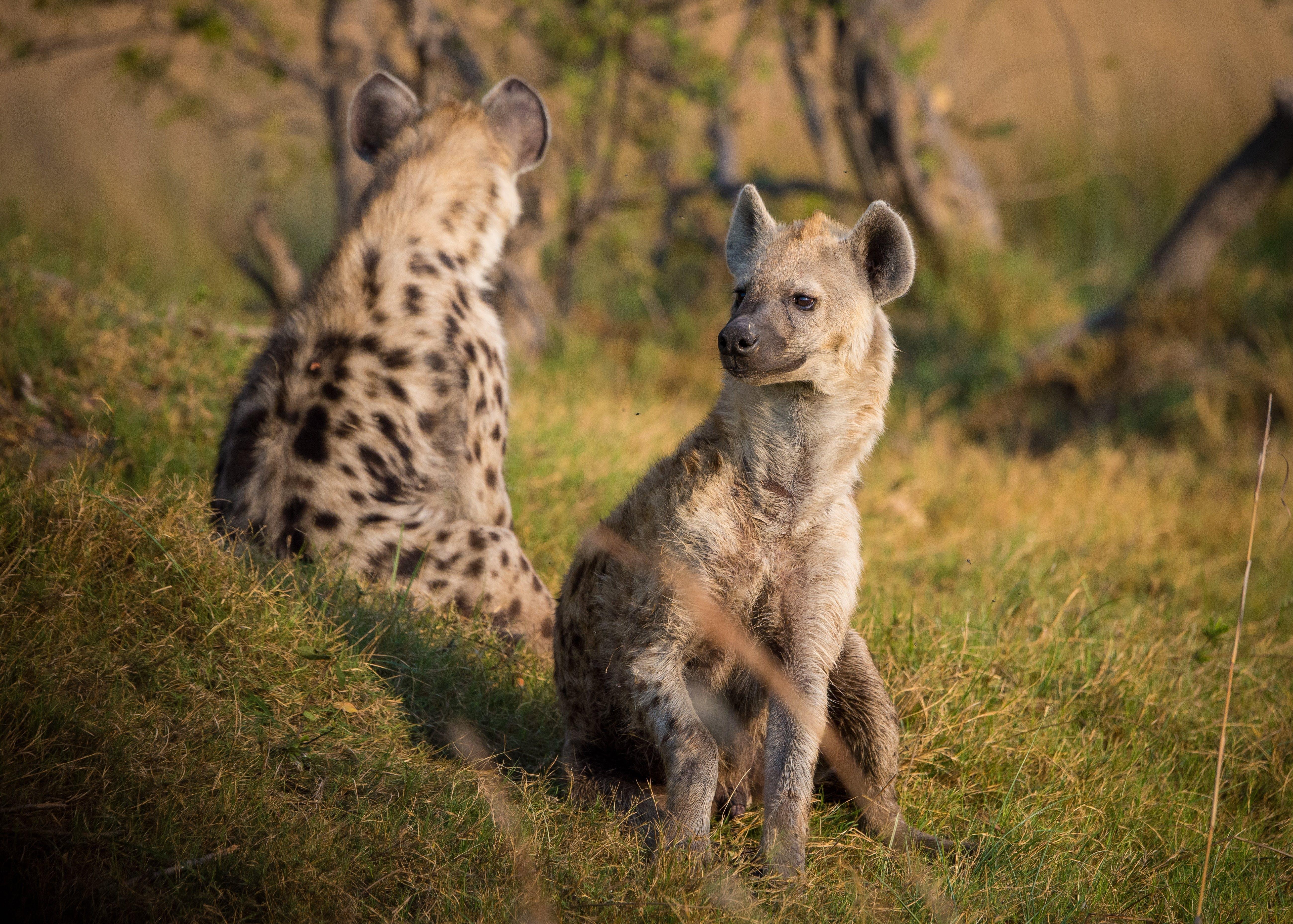 2 Hyenas on Grass Land during Daytime