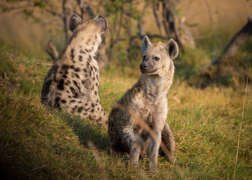 Бесплатное стоковое фото с гиены, дикая природа, животные, природа