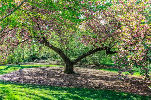 Free stock photo of carpet, cherry blossom, garden, nature
