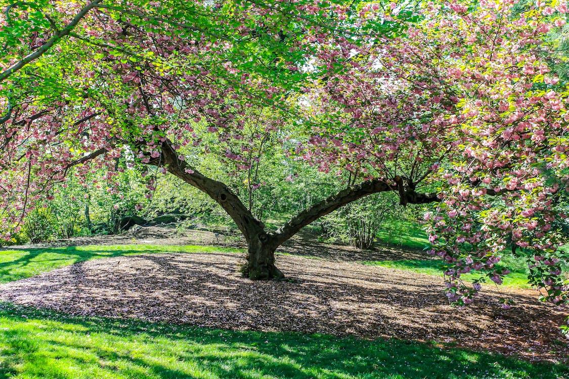 arbre, catifa, flor de cirerer