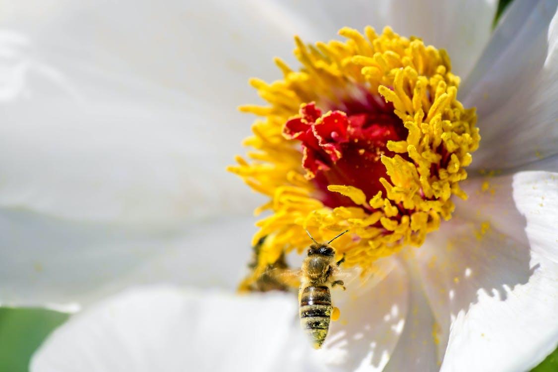 abella, animal, flor