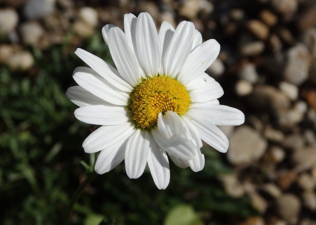 Beyaz çiçek, beyaz papatya, bitki örtüsü