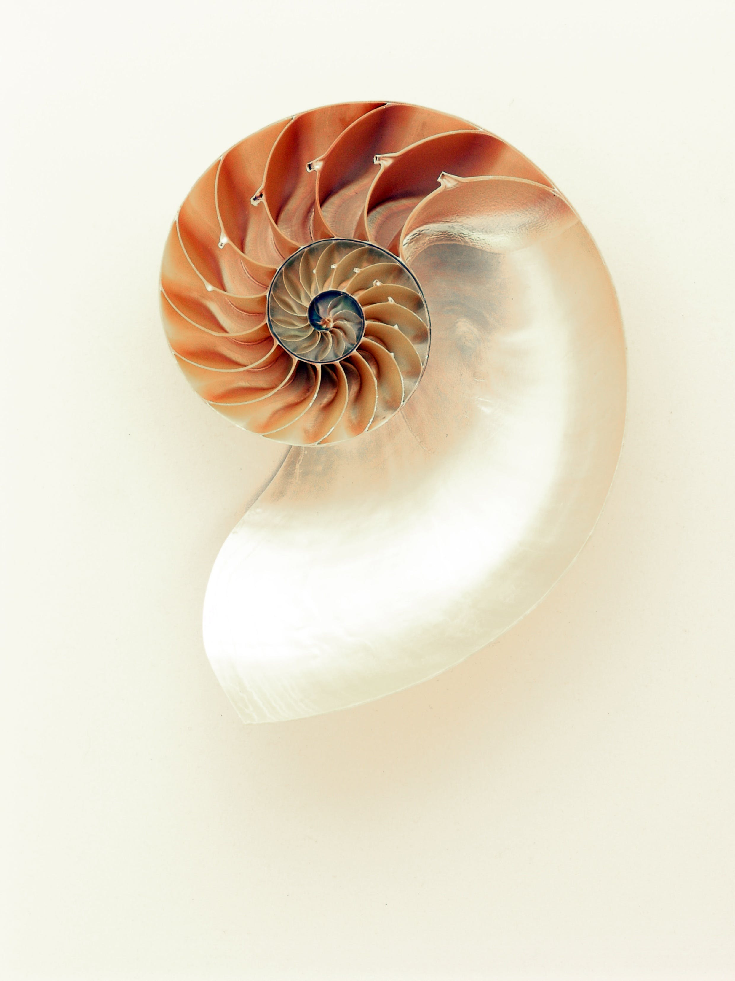Orange and White Seashell on White Surface