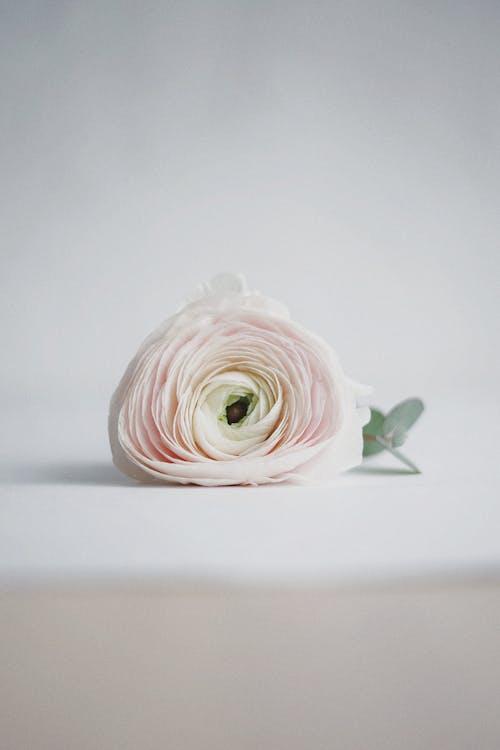 ピンクの花, ホワイトローズ, ローズ, 咲くの無料の写真素材