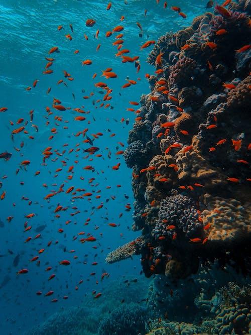 イソギンチャク, サンゴ, サンゴ礁, 動物の写真の無料の写真素材