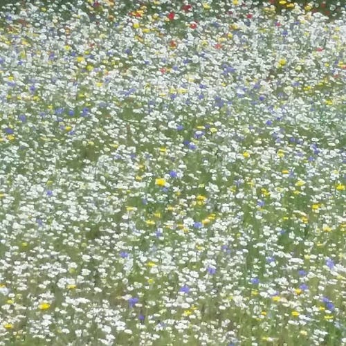 Free stock photo of field of flowers