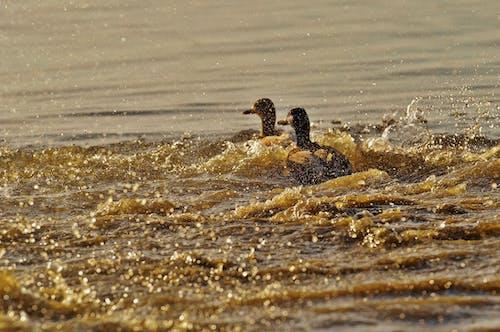 Základová fotografie zdarma na téma cákání, kachny, peří, voda
