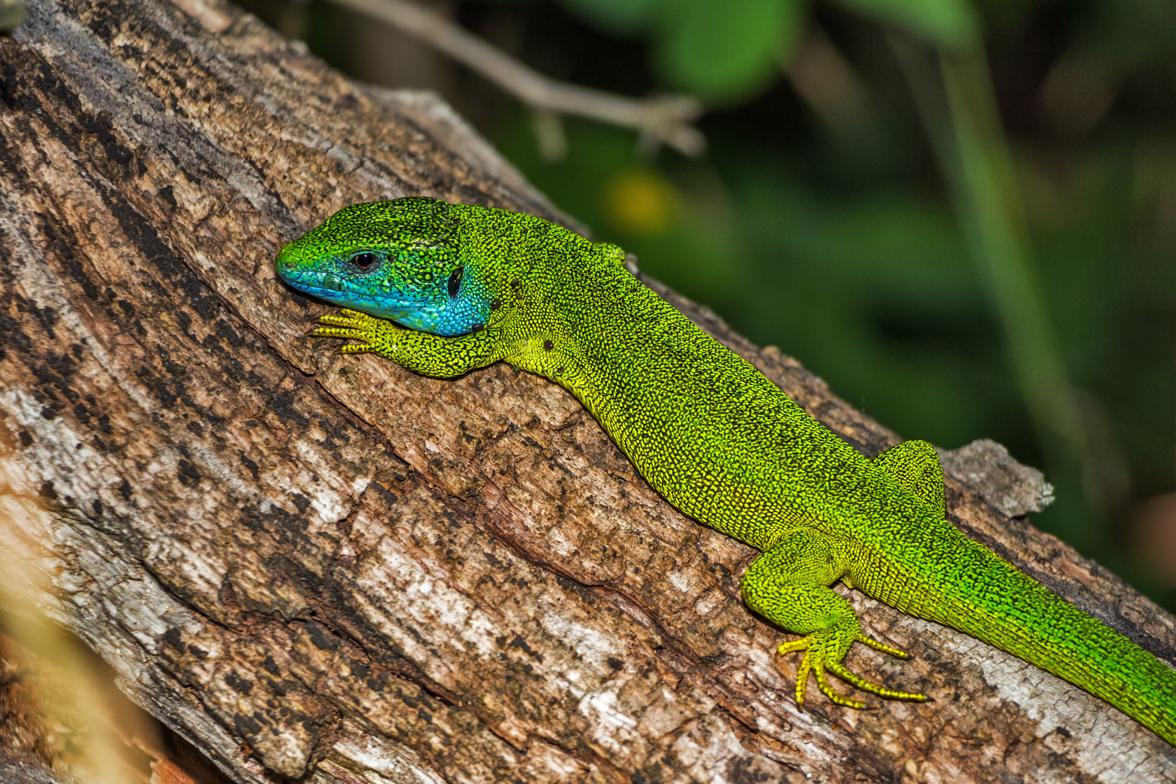 Green and Blue Lizard on Brown Wood