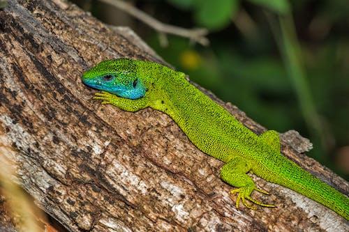 Бесплатное стоковое фото с lacerta viridis, европейская зеленая ящерица, животное, зеленый