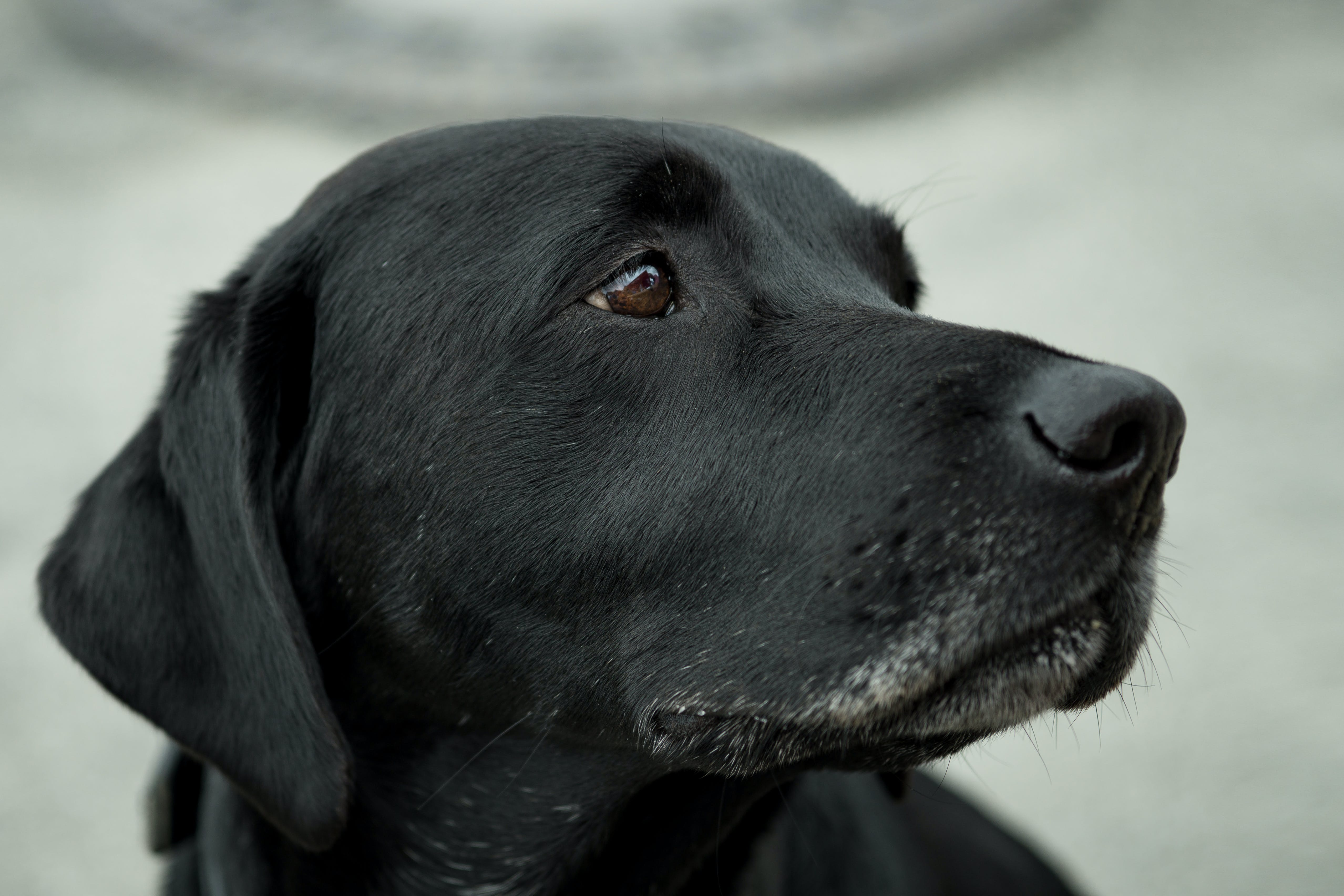 Close-up Photography Black Labrador Retriever