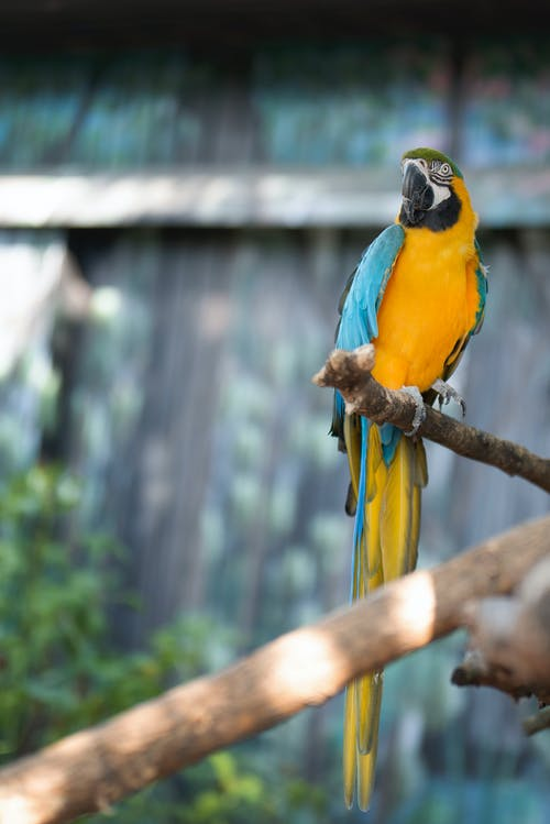 Blue and Yellow Parrot on Wooden Stick