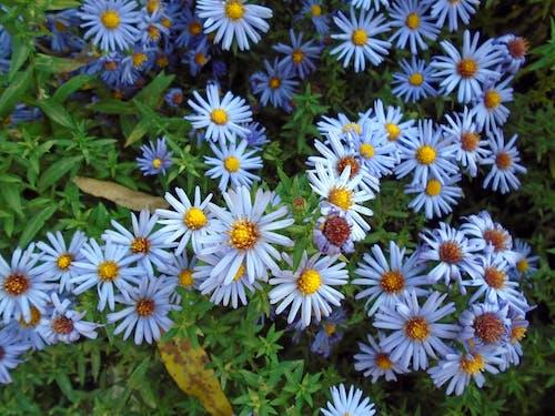 Bahçe, Çiçek açmak, Çiçekler, dalya içeren Ücretsiz stok fotoğraf